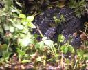 Le fameux crocodile de la mangrove !!!