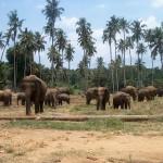 Eléphants de Pinnawela